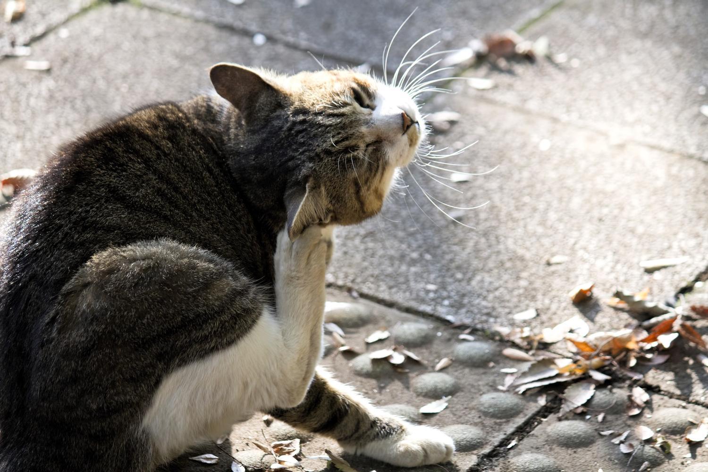 首をかく猫