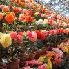 なばなの里 ベコニアガーデン 大温室の壁一面に整列した色鮮やかな様子が圧巻!