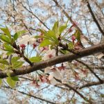 満開だった桜が散り始めたら、ガッカリする前に香りを楽しんでみて。