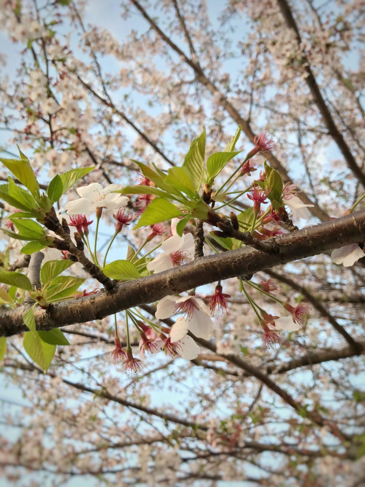 桜の香りを楽しんでみて