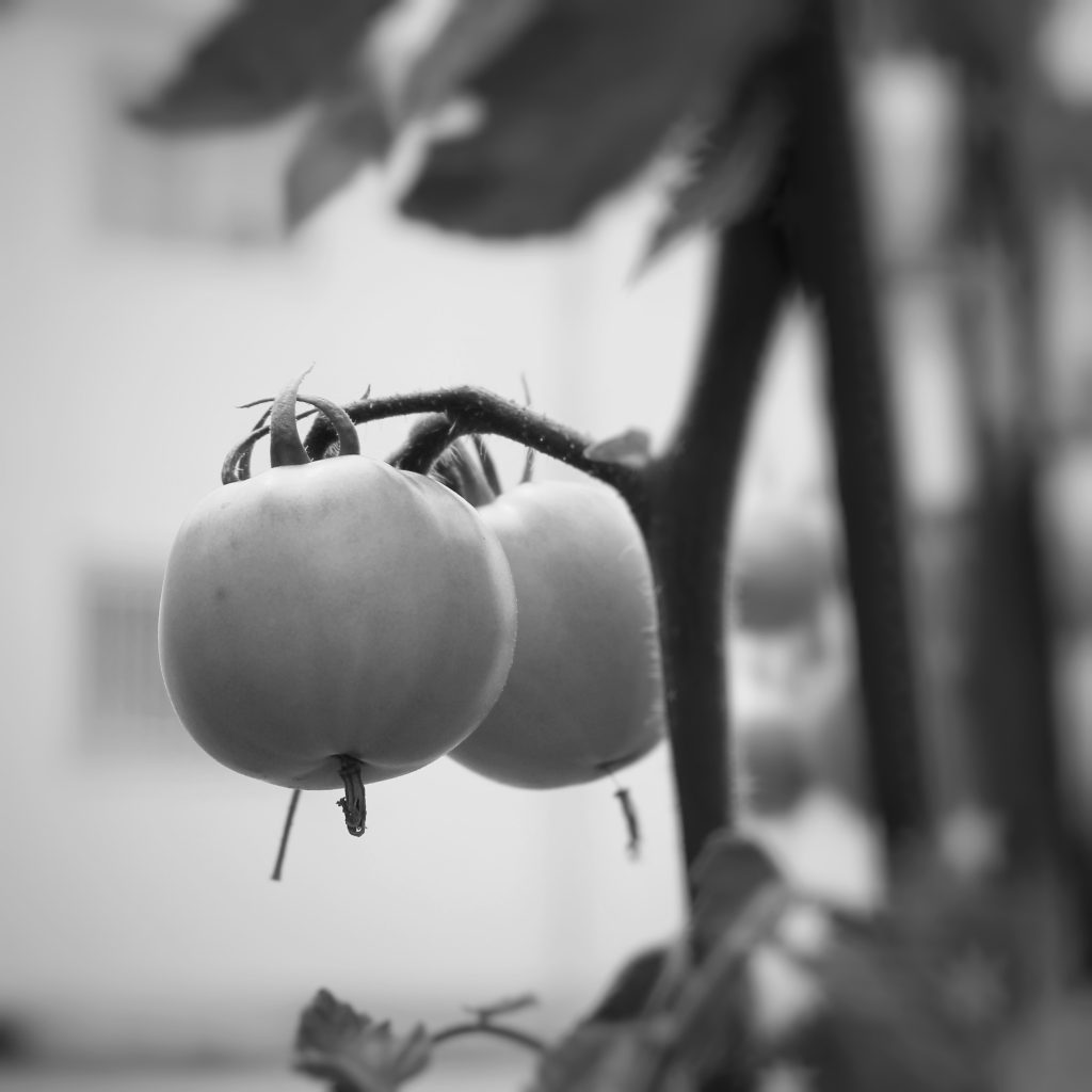 モノクロのトマト