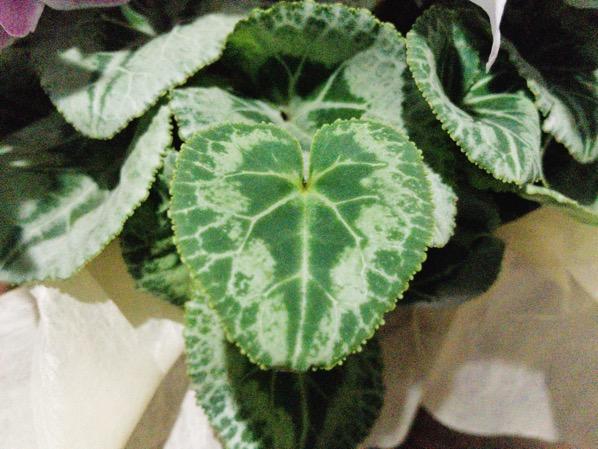 初の植物育成 シクラメンを育て始めた12月 育て方や注意点 花言葉を調べてみた 2