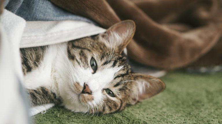 ぬくぬくのお布団から出てこない猫