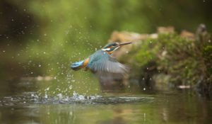 水辺から飛び立つ鳥